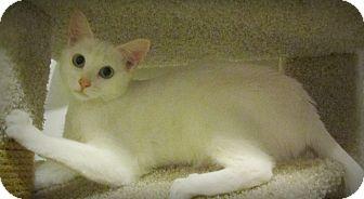 Domestic Shorthair Kitten for adoption in Seminole, Florida - Snowflake