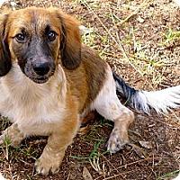 Adopt A Pet :: Roswell the Teddy Bear Puppy - Ocala, FL