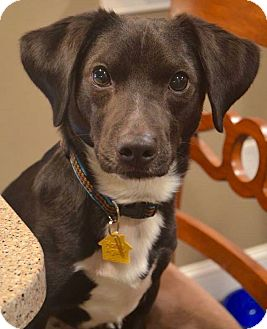 labrador retriever terrier mix union nj labrador retriever jack russell terrier mix 6238