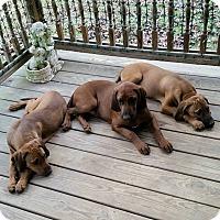 Adopt A Pet :: Amber - Puppy! - St, Augustine, FL