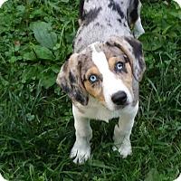 Adopt A Pet :: Simba - Flemington, NJ