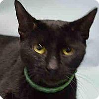 Adopt A Pet :: Kit Kat - Patterson, NY