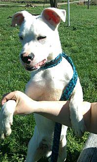 Boxer Mix Puppy for adoption in Lancaster, Kentucky - Kobe