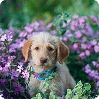 Adopt A Pet :: Summer - Auburn, CA