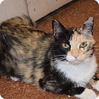Domestic Shorthair Cat for adoption in Pottsville, Pennsylvania - Mystic
