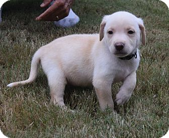 Feist/Labrador Retriever Mix Puppy for adoption in Durham, North Carolina - Foxtrot