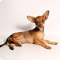 Adopt A Pet :: Wink Chi - St. Louis, MO