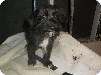 Wheaten Terrier/Poodle (Miniature) Mix Puppy for adoption in Bonifay, Florida - Ashley