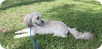 Lhasa Apso/Havanese Mix Puppy for adoption in Ridgecrest, California - Ronnie