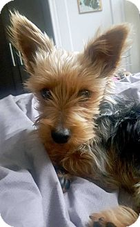 Yorkie, Yorkshire Terrier Mix Puppy for adoption in New York, New York - Don!
