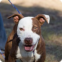 Staffordshire Bull Terrier Mix Dog for adoption in Seabrook, New Hampshire - Rocket