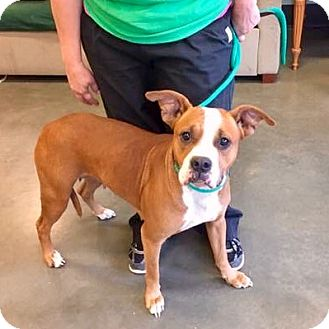 Boxer Mix Dog for adoption in Seabrook, New Hampshire - Ginger-URGENT