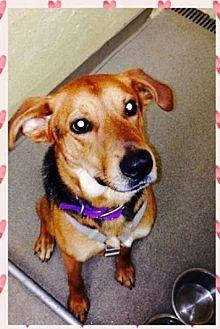 Hound (Unknown Type)/Shepherd (Unknown Type) Mix Dog for adoption in North Haven, Connecticut - Bronze