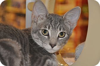 Domestic Shorthair Kitten for adoption in Foothill Ranch, California - Tia