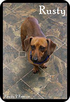 Dachshund Dog for adoption in Rockwall, Texas - Rusty