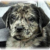 Adopt A Pet :: IndigoBoy - Broomfield, CO
