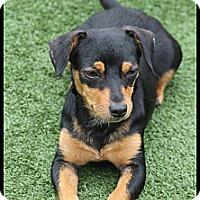 Adopt A Pet :: Bailey - Rockwall, TX