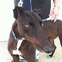 Adopt A Pet :: Shady - Florence, KY