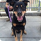 Adopt A Pet :: Jackson- handsome Rottie