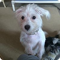 Adopt A Pet :: TOMMY BOY - Boca Raton, FL