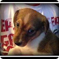 Adopt A Pet :: Raj - Indian Trail, NC