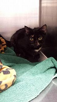 Domestic Shorthair Cat for adoption in Lima, Ohio - Maeve