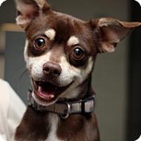 Adopt A Pet :: Brownie - Yucaipa, CA