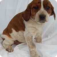 Adopt A Pet :: Dreamer (8 lb) - Sussex, NJ