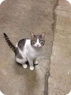 Domestic Shorthair Cat for adoption in Houston, Texas - Hugo