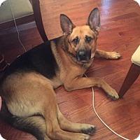 Adopt A Pet :: Dax - Morrisville, NC