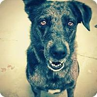 Adopt A Pet :: Indigo - Phoenix, AZ
