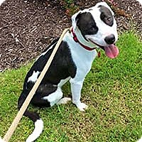 Adopt A Pet :: Bandit - Chantilly, VA