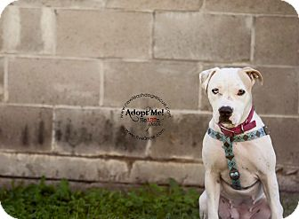 Pit Bull Terrier Mix Dog for adoption in La Crosse, Wisconsin - Chacole