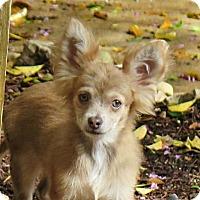 Adopt A Pet :: Abe - San Antonio, TX
