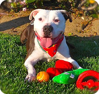 English Bulldog/American Bulldog Mix Dog for adoption in Los Angeles, California - Good-looking Buddy