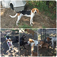 Hound (Unknown Type) Mix Dog for adoption in Bishopville, South Carolina - Mr. Fox
