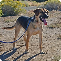Shepherd (Unknown Type) Mix Dog for adoption in Gardnerville, Nevada - Maple