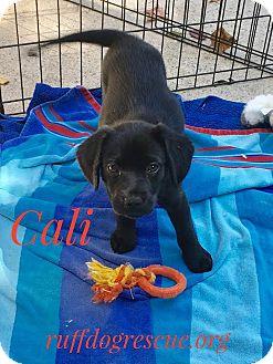 Labrador Retriever Mix Puppy for adoption in Milton, Georgia - Cali