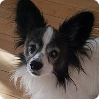 Papillon Dog for adoption in Tampa, Florida - JELLICO (KW TC)