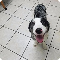 Adopt A Pet :: Mercedes - Fort Worth, TX
