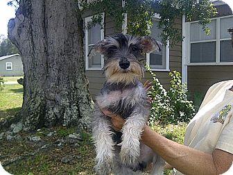 Schnauzer (Miniature) Puppy for adoption in St. Petersburg, Florida - Sista