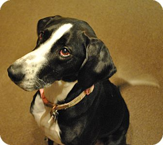 Pointer/Great Dane Mix Dog for adoption in Louisville, Kentucky - Paris