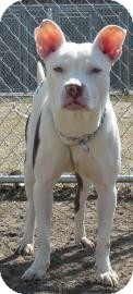 American Pit Bull Terrier Mix Puppy for adoption in Gary, Indiana - Tiana