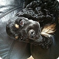 Adopt A Pet :: Cooper - Chewelah, WA