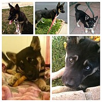 Adopt A Pet :: Lacey - Whittier, CA