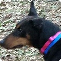 Adopt A Pet :: Bella - Arlington, VA