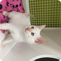 Adopt A Pet :: Baloo - San Antonio, TX