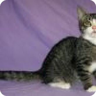 Domestic Shorthair Cat for adoption in Powell, Ohio - Lucius