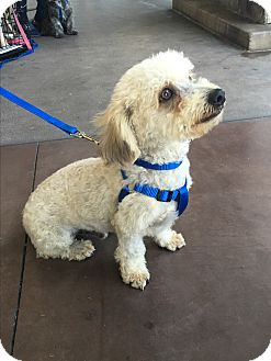 Maltese/Yorkie, Yorkshire Terrier Mix Dog for adoption in Carlsbad, California - Nolan
