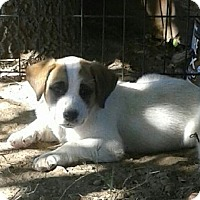 St. Bernard Mix Puppy for adoption in Hagerstown, Maryland - Leticia